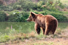Испытывающий жажду медведь Стоковое Изображение