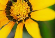 Испытывающий жажду муравей Стоковое Изображение RF