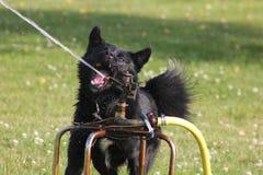Испытывающий жажду собака Стоковое Изображение RF