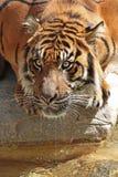 Испытывающий жажду тигр Стоковое Фото
