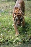 Испытывающий жажду тигр Стоковая Фотография RF