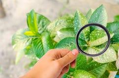 Исследование заводов/кустов на пестицидах и химикатах обрабатывающ заводы от вредных насекомых, жидкостный подавать, использует w стоковые фотографии rf