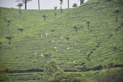 Исследуя плантация чая munnar стоковое фото