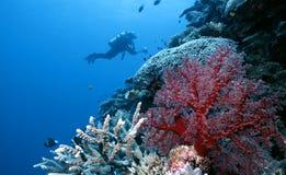 исследуя риф острова togian Стоковое Изображение