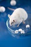 Исследование на mauses в лаборатории Стоковое Изображение RF