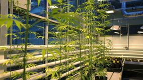 Исследуйте коноплю для целебных целей, марихуану науки медицинскую, деталь фокуса re, био цветков роста культивирования стерильно акции видеоматериалы