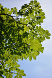листает клен Стоковые Фото