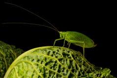 Истинное katydid Стоковая Фотография
