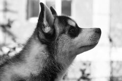 Истинный друг Голова милого осиплого щенка Стоковое Изображение RF