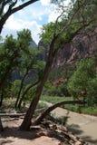 Исторические сдобренные деревья упорно добиваться во время потоков в национальном парке Mt Сиона, St. George, UT Стоковая Фотография