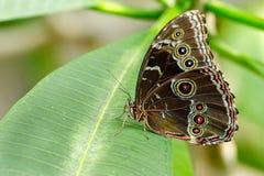 листья бабочки зеленые Стоковая Фотография RF