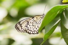 листья бабочки зеленые Стоковое фото RF