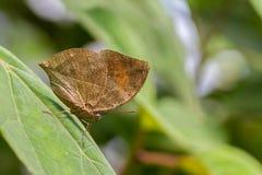 листья бабочки мертвые Стоковые Изображения RF