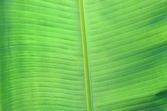 листья банана близкие вверх Стоковая Фотография RF