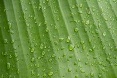 листья банана влажные Стоковые Изображения