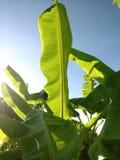 листья банана с небом bule Стоковая Фотография RF