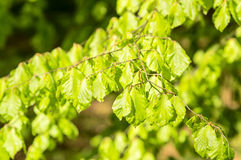 листья бука свежие Стоковое Изображение RF