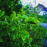 листья влажные Стоковая Фотография RF