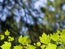 листья граници зеленые Стоковое Изображение