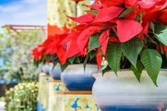 листья засаживают красное тропическое Стоковые Фото