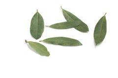 листья залива свежими изолированные травами белые Nobilis Laurus Стоковое Изображение RF