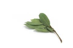 листья залива свежими изолированные травами белые Nobilis Laurus Стоковое Фото