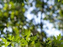 листья зеленого цвета предпосылки акации Стоковая Фотография RF