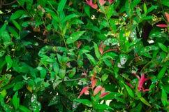 листья зеленого цвета предпосылки акации стоковые изображения