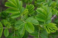 листья зеленого цвета предпосылки акации Стоковые Фото