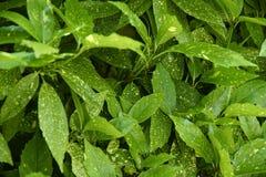 листья зеленого цвета предпосылки акации Стоковое Изображение
