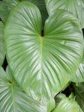 листья зеленого цвета предпосылки акации Стоковое Фото