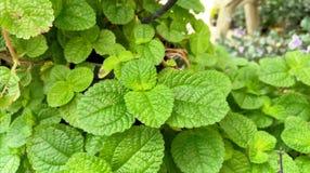 листья зеленого цвета предпосылки акации Стоковые Изображения RF