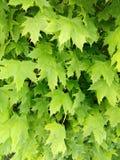 листья зеленого цвета предпосылки акации Стоковое фото RF