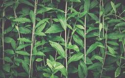 листья зеленого цвета предпосылки акации стоковая фотография