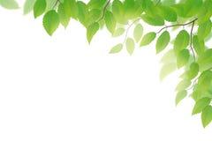 листья зеленого цвета иллюстрация вектора