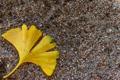 листья зеленого цвета ginkgo biloba Стоковое Фото