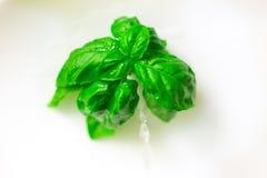 листья изолированные базиликом Стоковое Изображение RF