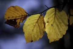 листья листьев предпосылки осени цветастые сухие Стоковые Изображения