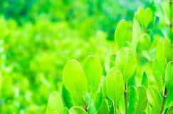 листья или лист зеленой мангровы на дереве в лесе мангровы Стоковая Фотография RF