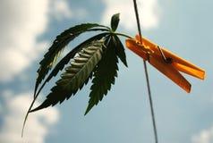 листья конопли предпосылки изолированные выбором делают белизну вашими Стоковые Фотографии RF