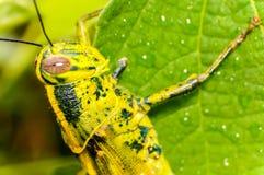 листья кузнечика зеленые Стоковые Фото