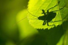 листья кузнечика зеленые Стоковое Изображение