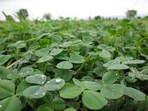 листья клевера Стоковая Фотография RF