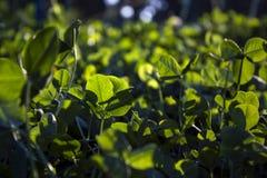 листья 3 клеверов Стоковая Фотография
