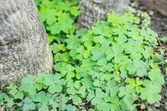 листья 3 клеверов Стоковая Фотография RF