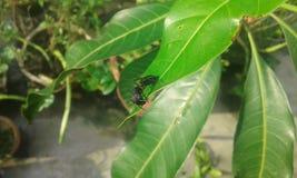 листья муравея зеленые Стоковая Фотография RF