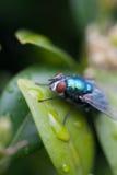 листья мухы Стоковое Фото