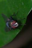 листья мухы Стоковое Изображение