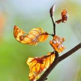 листья осени красные Стоковая Фотография