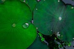 листья лотоса в озере Стоковое Изображение RF
